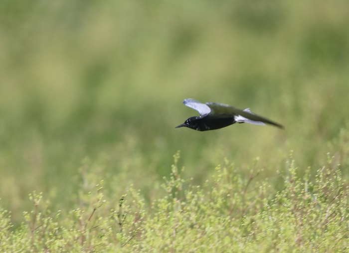 Black Tern, Malheur Nat'l Wildlife Refuge, Oregon