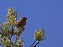 Male Cassia Crossbill, South Hills, Idaho