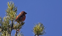 Male Cassia Crossbill, South Hills, Idaho