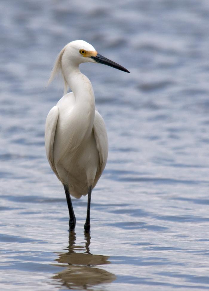 Cattle Egret, San Antonio, Texas