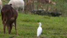 Cattle Egret in its preferred habitat, Pantanal, Brazil