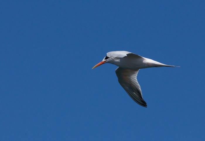 Elegant Tern, Monterey Bay, California