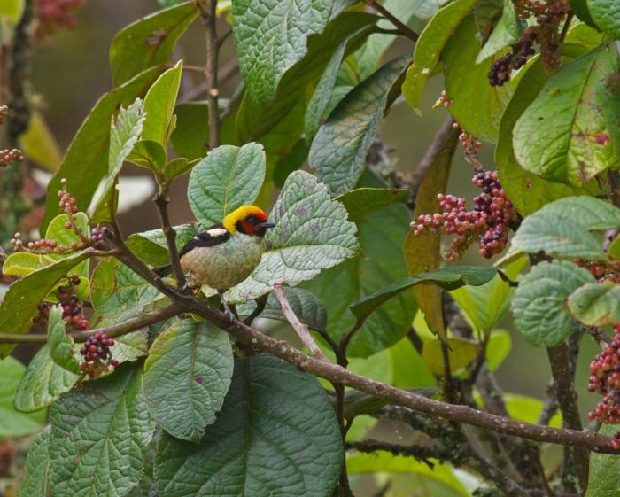 Flame-faced Tanager, Southern Ecuador