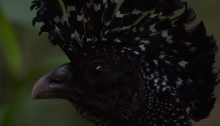 Great Curassow at ISO 25,600