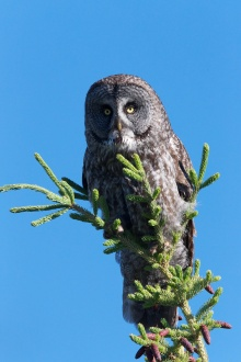 Great Gray Owl, Wrangell-St. Elias Nat'l Park, Alaska