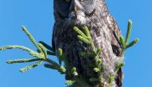 Great Gray Owl, Wrangell-St. Elias Nat'l Park, Alaska