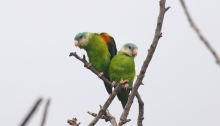 Grey-cheeked Parakeets, Ecuador