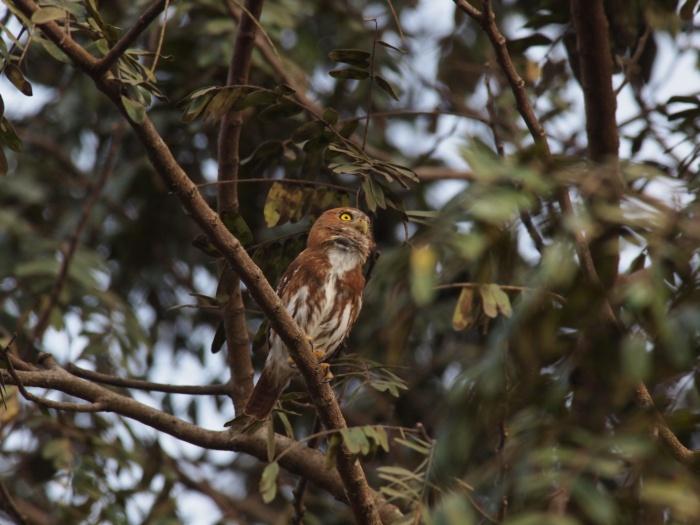Ferruginous Pygmy-Owl, Patagonia State Park, Arizona