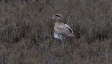 Peruvian Thick-Knee, Peru