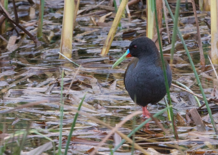 Plumbeous Rail, Coastal Peru