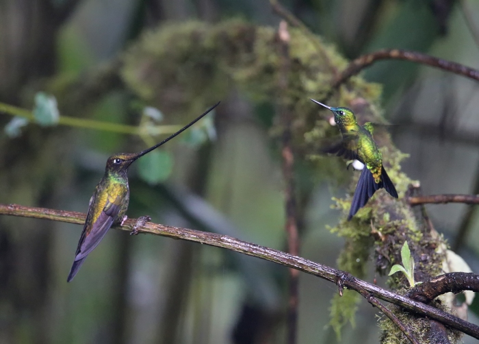 Sword-billed Hummingbird and a Sapphire-vented Puffleg