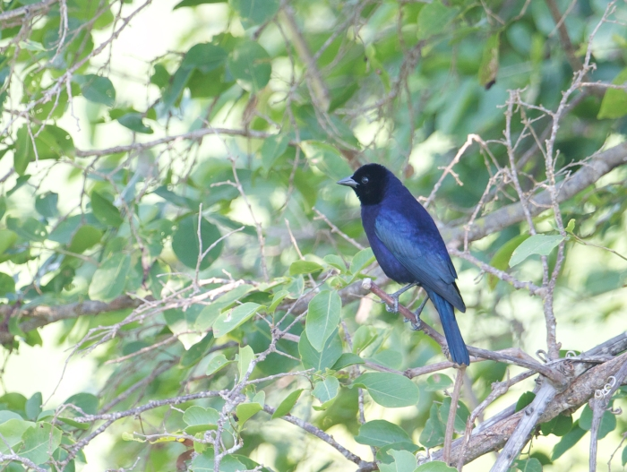 Shiny Cowbird, Pantanal, Brazil