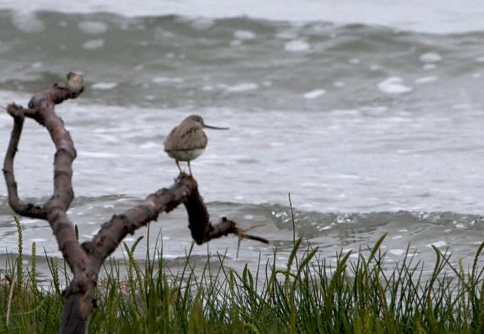 Terek's Sandpiper, Anchorage, Alaska