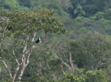 White-throated Toucan calling from a Kapok Tree, Rio Napo in the Amazon Basin, Ecuador