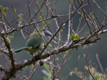 Blue-banded Toucanet, East Slope of the Andes, Peru