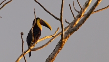 Yellow-throated Toucan, Costa Rica