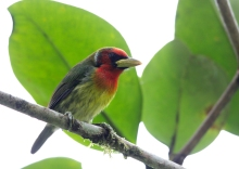 Red-headed Barbet Male, Ecuador