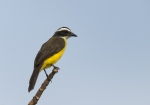 Social Flycatcher, Costa Rica