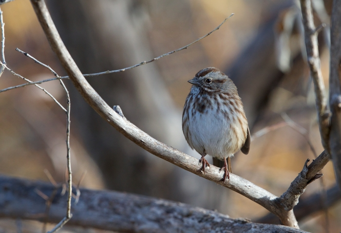 Song Sparrow, Albertson Park, Boise