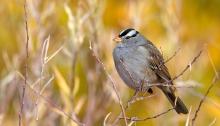 White-crowned Sparrow, Albertson Park, Boise