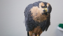 Aplomado Falcon, The Peregrine Fund, Boise, Idaho