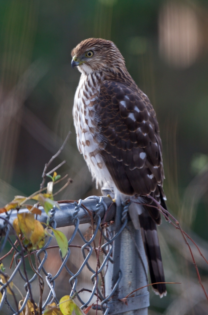 Cooper's Hawk, checking out the option, Boise,  Idaho