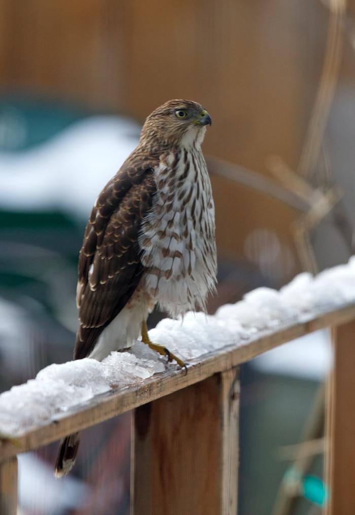 Cooper's Hawk, Boise, Idaho