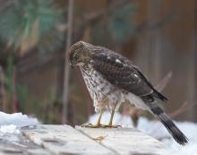 Sub-adult, Male Cooper's Hawk, Boise, Idaho