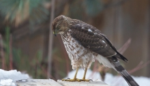 Sub-adult, Male Cooper's Hawk, Boise, Idaho