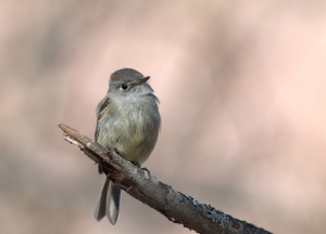 Hammond's Flycatcher, Creamer's Refuge, Fairbanks