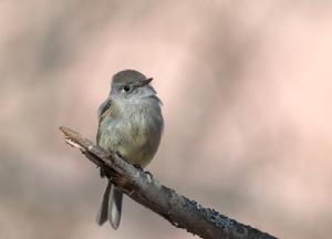 Hammond's Flycatcher, Creamer's Refuge, Fairbanks