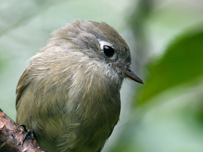 Hammond's Flycatcher closeup; note the uneven white eye ring, larger behind the eye
