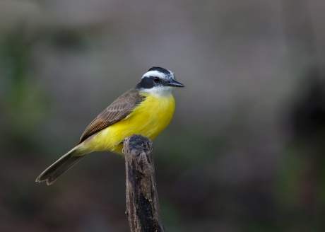 Lesser Kiskadee, Ecuador