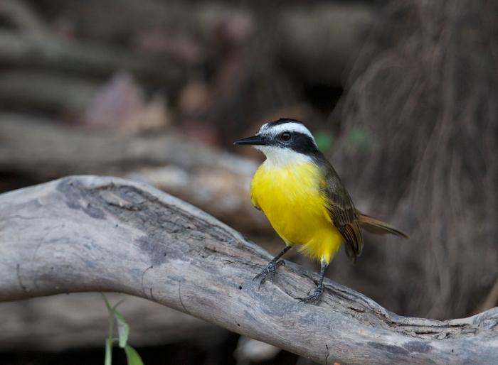 Lesser Kiskadee, Brazil