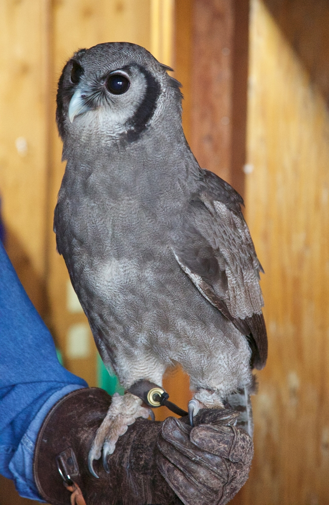 Verreaux's Eagle-Owl, The Peregrin Fund, Boise, Idaho