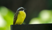 White-ringed Flycatcher, Costa Rica