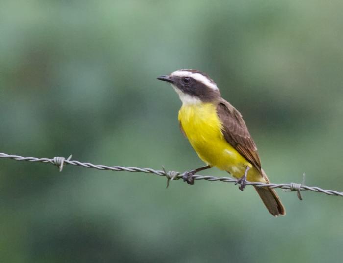 Rusty-margined Flycatcher, Southern Ecuador