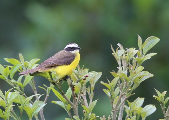 Rusty-margined Flycatcher, Ecuador