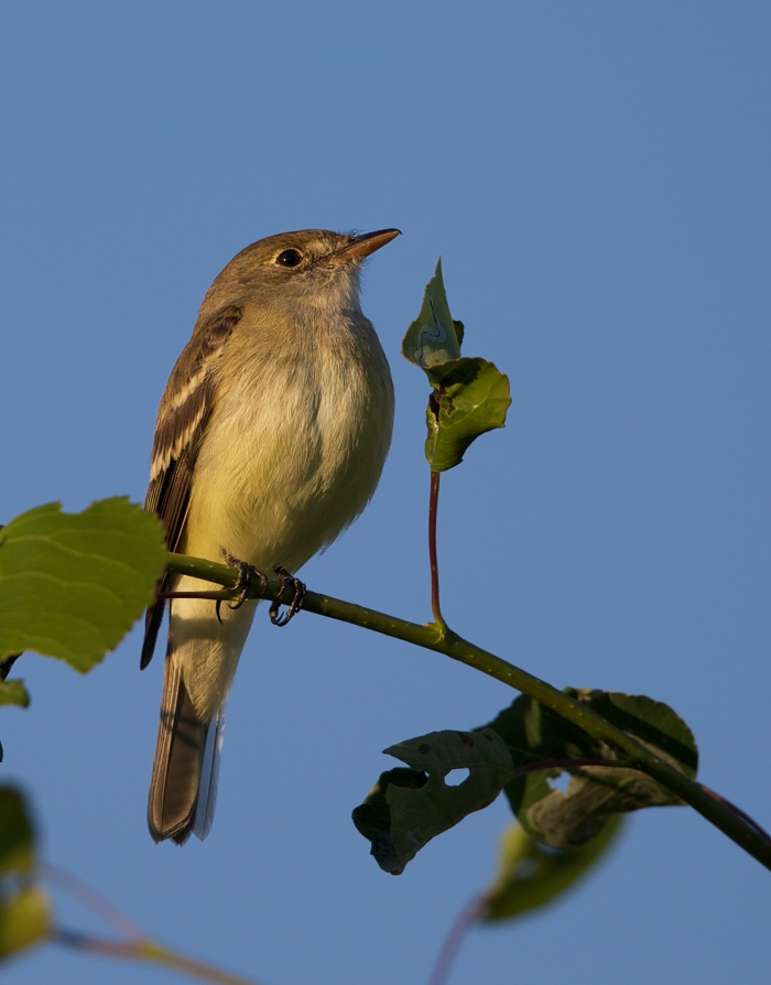 Alder Flycatcher, Dog Musher's Field, Fairbanks