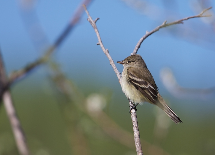 Alder Flycatcher, Creamer's Refuge, Fairbanks