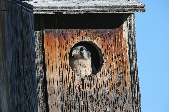 American Kestrel in a nest box, Camas Prairie, Idaho