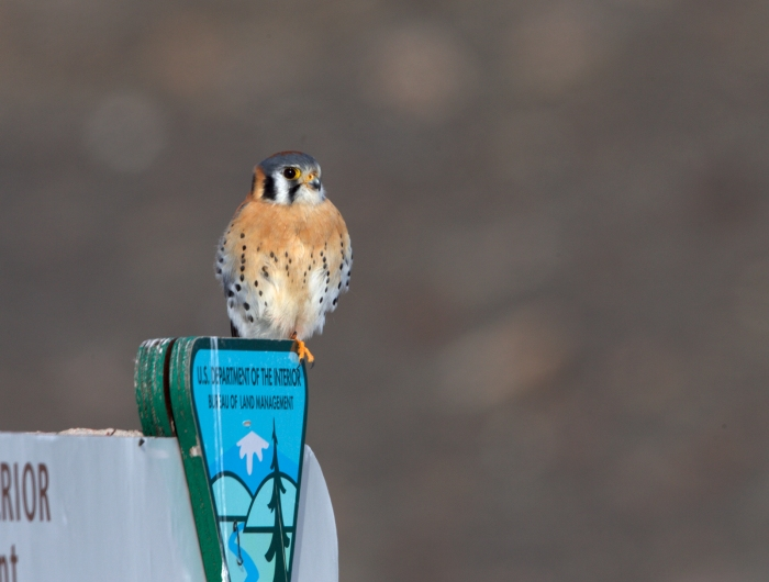 American Kestrel hunting, Malheur National Wildlife Refuge, Oregon