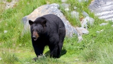 Black Bear, Prince William Sound, Alaska