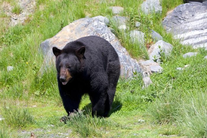 Black Bear, Prince William Sound, Alaska