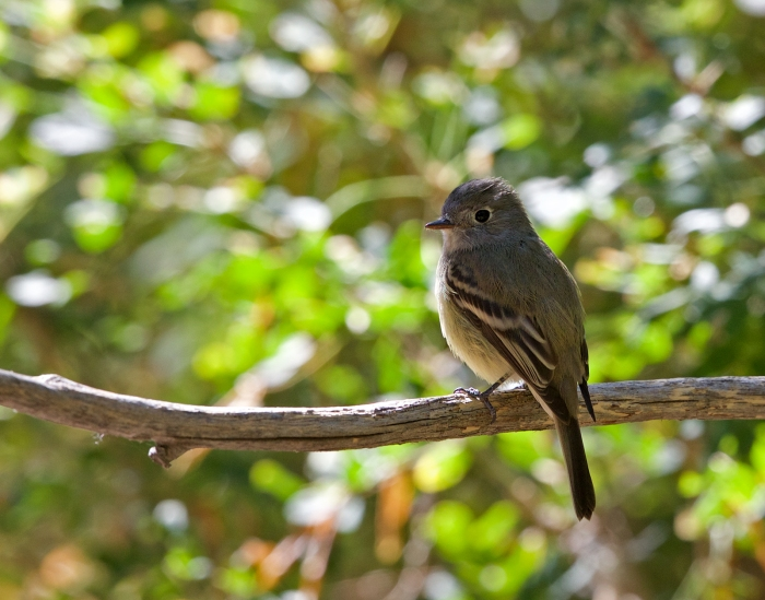 Return of Bird of the Week: Cordilleran Flycatcher