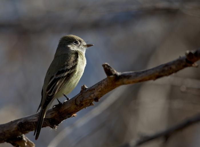 Cordilleran Flycatcher, McCall, Idaho