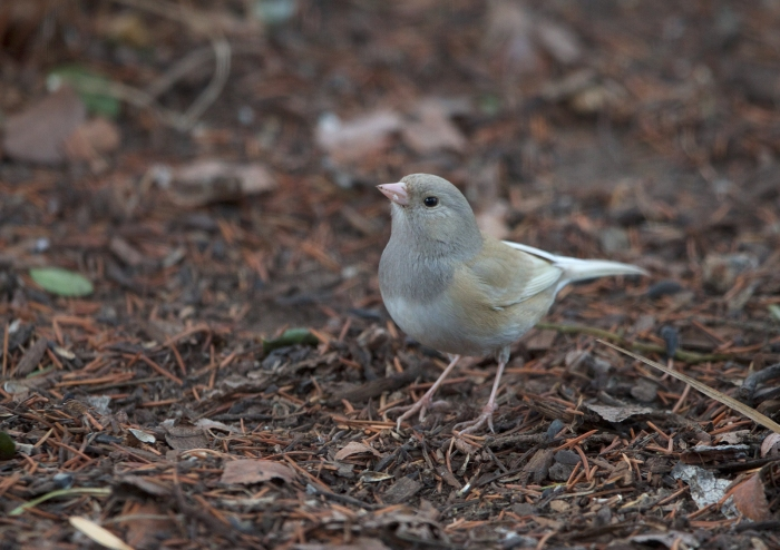 Leucistic Dark-eyed Junco, Boise, Idaho