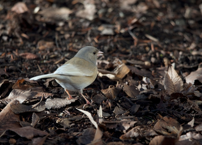 Rear view of Leucistic Dark-eyed Junco, Boise, Idaho