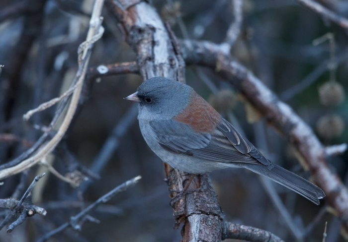 "Dark-eyed Junco, ""Gray-headed"" variety, Madera Canyon, Arizona"