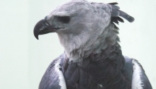 Harpy Eagle Adult, World Center for Birds of Prey, The Peregrine Fund, Boise, Idaho